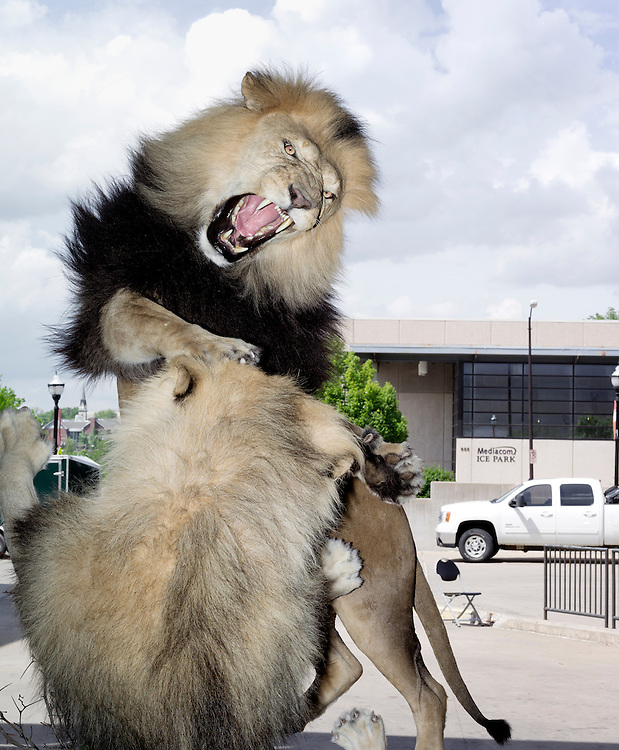 Two Male African Lions Fight At The Truck Entrance At The Expo