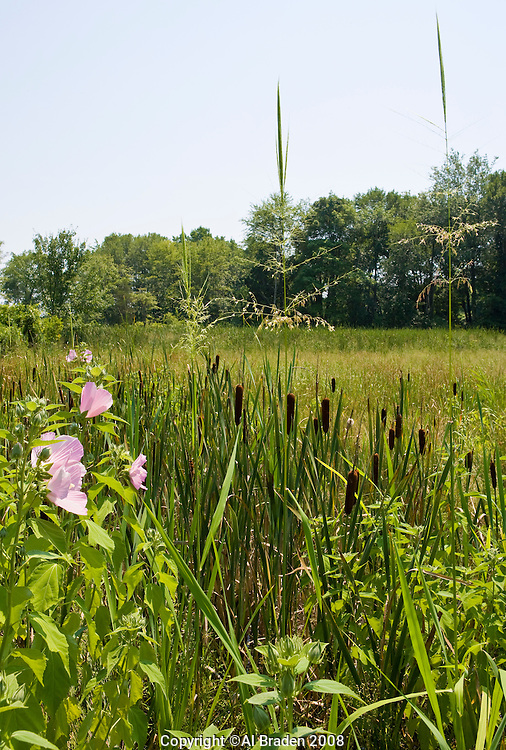 Native hybiscus, cat tails and wild rice near Lord Cove, Lyme, CT near the Connecticut River.