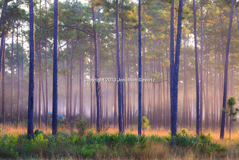 Morning fog in slash pines on Long Pine Key pond in Everglades National Park, Florida. WATERMARKS WILL NOT APPEAR ON PRINTS OR LICENSED IMAGES.<br />