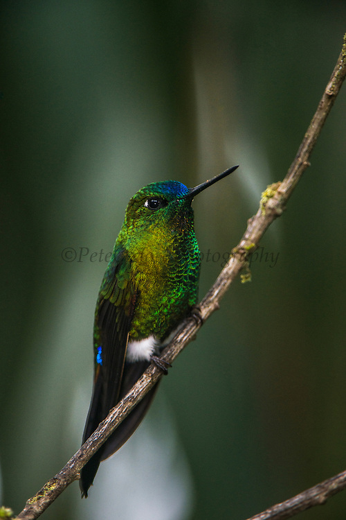 Sapphire-vented puffleg (Eriocnemis luciani)<br /> Yanacocha Nature Reserve<br /> on slopes of Pichincha Volcano<br /> Andes<br /> ECUADOR, South America<br /> Range: Subtropical or tropical moist montane forests of Colombia, Ecuador, Peru & Venequela