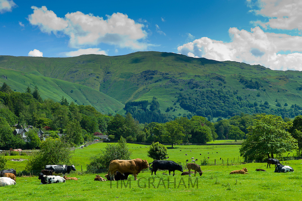 Bull and cows in meadow near Easedale in the Lake District National Park, Cumbria, UK