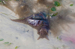 Sea hares feed in the seagrass at Town Beach on the shores of Roebuck Bay.  The hares are large marine gastropods with a soft internal shell made of protein.  The name Sea Hare derives from their rounded shape and the two rhinophores, extremely sensitive chemical receptors, that extend from their heads and are remeniscent of the ears of a hare.  The hares exude a purple dye when under stress.