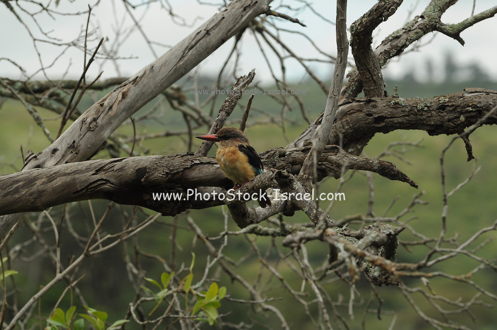 Brown-hooded Kingfisher (Halcyon albiventris) Photographed in Tanzania