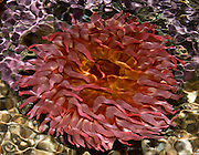 "Ripples on the water surface distorts this view of an orange and red sea anemone at the Seattle Aquarium, Washington. Published in ""Light Travel: Photography on the Go"" book by Tom Dempsey 2009, 2010. At the Virginia Mason Medical Center, Seattle, the Art Committee selected this 17x22 inch print for display in the Jones Pavilion Level 11 Orthopedic Inpatient unit art collection, 2011."