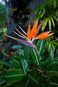 Bird of Paradise, Hawaii