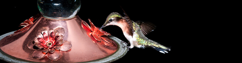 A young hummingbird extracting sugar-water from a feeder. (Quebec, Canada)