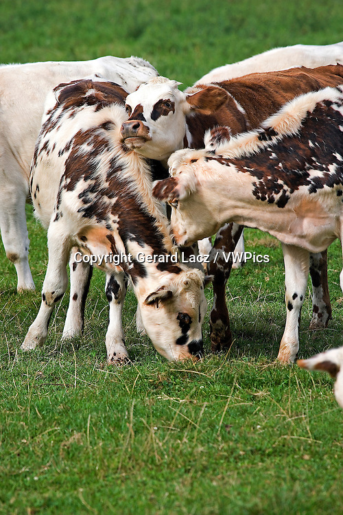 NORMANDY CATTLE, CALF GRAZING IN PASTURE, NORMANDY