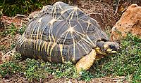 Radiated tortoises (Geochelone radiata)
