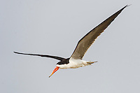 African Skimmer in flight, Chobe River, Kasane, Botswana.