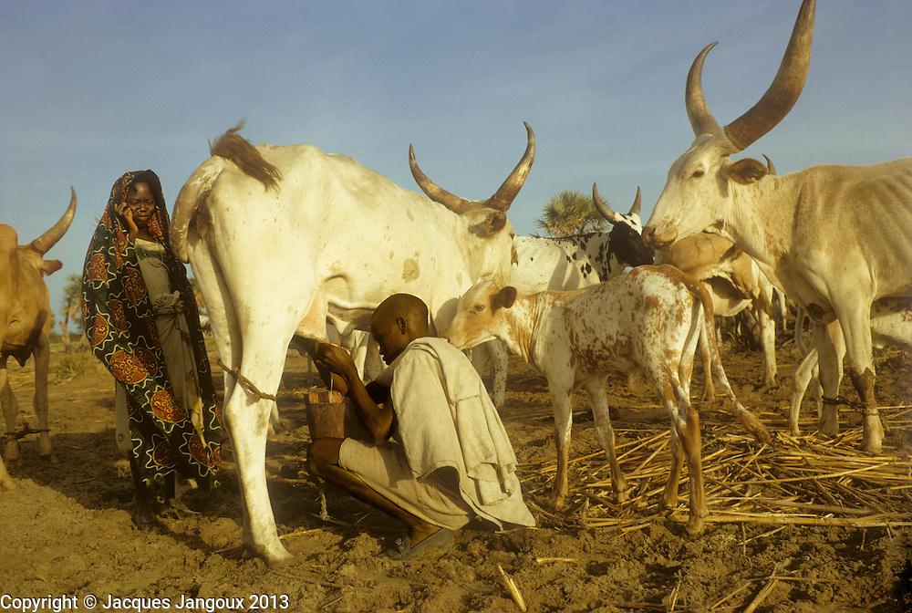 Africa, Chad, Sahel region, islands of Lake Chad: Buduma (Yedina) young man milking a cow. The Buduma or Yedina speak a language pertaining to the Afro-Asiatic family, Chadic subfamily. The Buduma are pastoralists, fishermen and agriculturists.