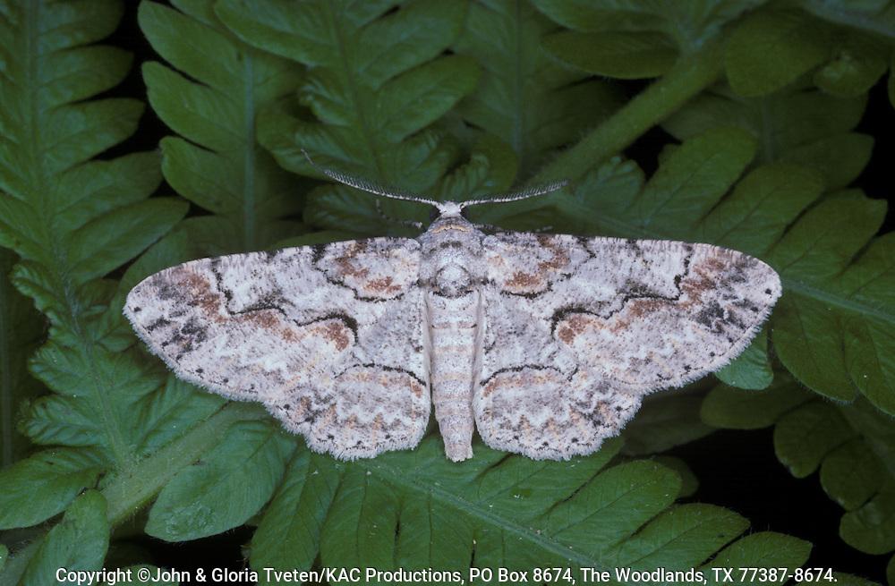 Brown-shaded Gray,.Anacamptodes defectaria,Male