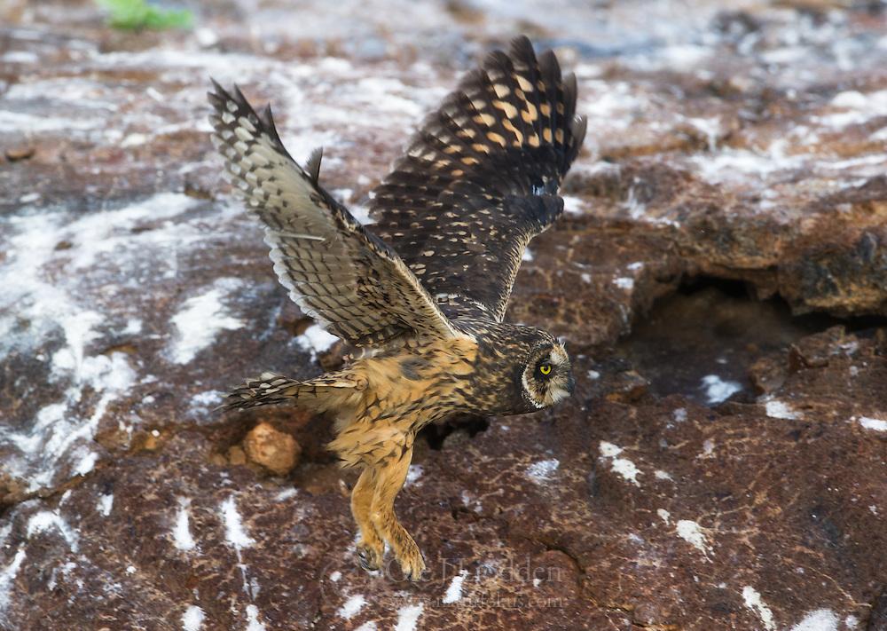 Galapagos short-eared owl (Asio flammeus galapagoensis)