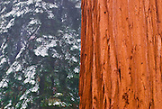 Giant Sequoia (Sequoiadendron giganteum) in winter, Giant Forest, Sequoia National Park, California