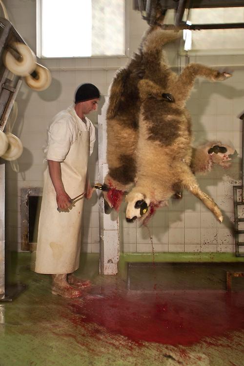 Halal meat processing of sheep at Turkovic plant, Sjenica, Serbia.