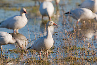 Snow Geese (Chen caerulescens), migrating north for the summer breeding season, stop over to feed in the salt marshes of Cape May, NJ. The waterfowl breed in northern Canada and Siberia and spend most of their winter further south in the southern USA and beyond.