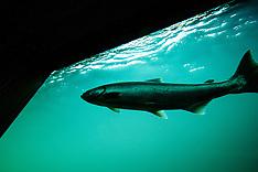 Bonneville Dam, Oregon photos - stock photos, salmon photos,  Bonneville Dam Stock Photography