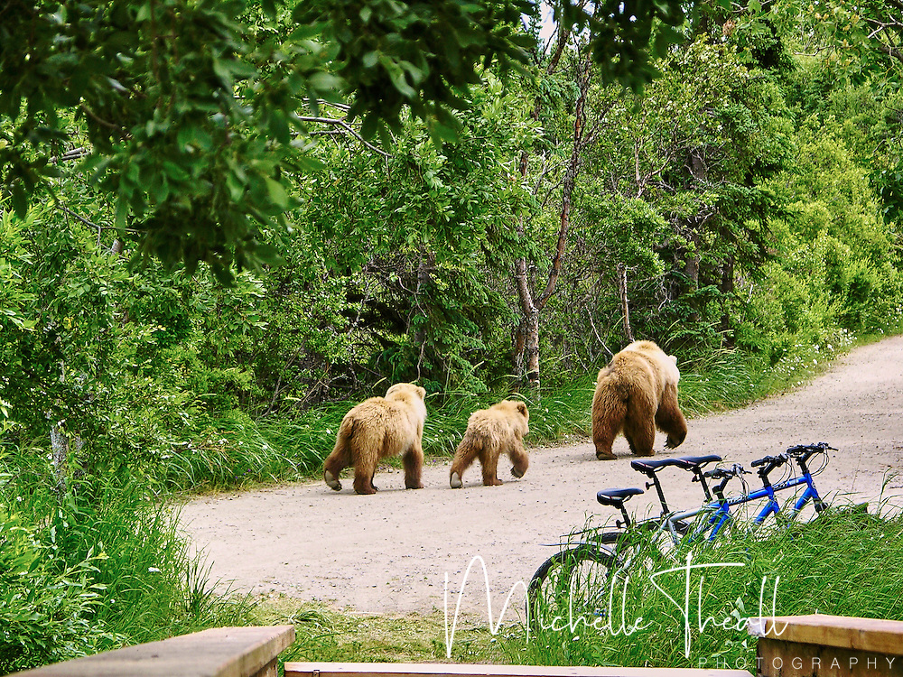 Bikes sit idle as a mama bear and her cubs use the path at Katmai NP