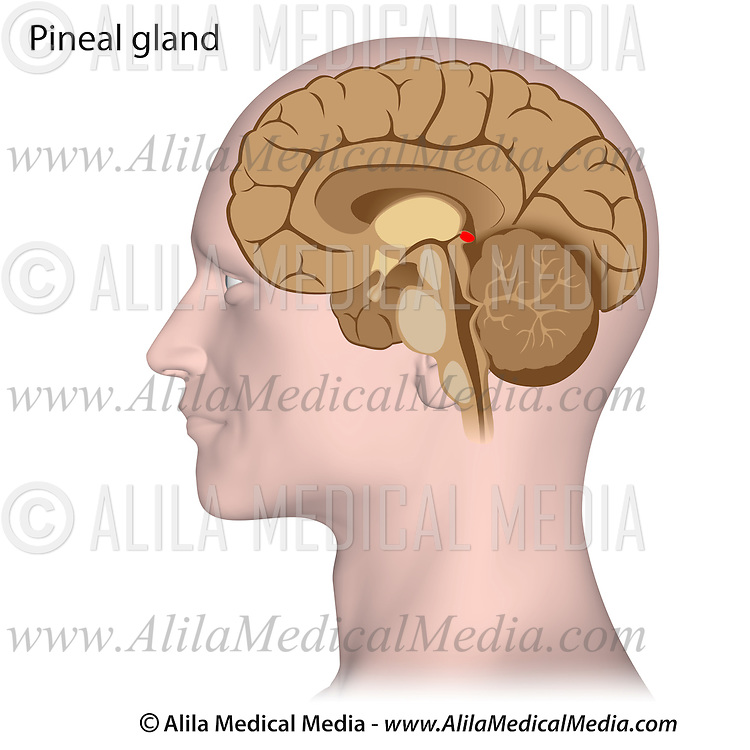 Pineal gland   Alila Medical Images