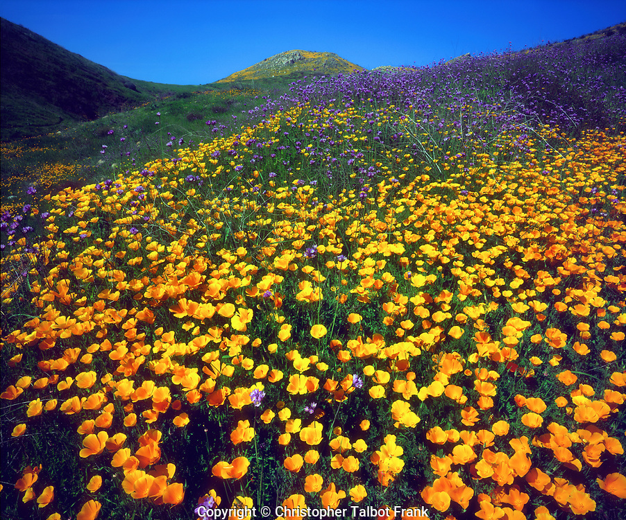 USA; California; Lake Elsinore.; California poppies covering a hillside