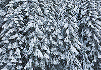 Snow covered coniferous trees on the East slopes of the Cascade Mountains in Washington State
