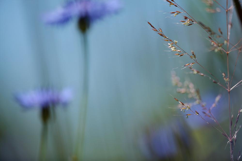 Cornflower, Centaurea cyanus.<br /> Lagadin region. Lake Ohrid (693m).<br /> Galicica National Park, Macedonia, June 2009<br /> Mission: Macedonia, Lake Macro Prespa /  Lake Ohrid, Transnational Park<br /> David Maitland / Wild Wonders of Europe