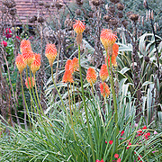 Kniphofia Red Hot Pokers