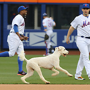 NEW YORK, NEW YORK - May 18:  A dog on the loose  runs past David Wright #5 of the New York Mets as the Mets warm up during the 'Bark at the Park' night before the Washington Nationals Vs New York Mets regular season MLB game at Citi Field on May 18 2016 in New York City. (Photo by Tim Clayton/Corbis via Getty Images)