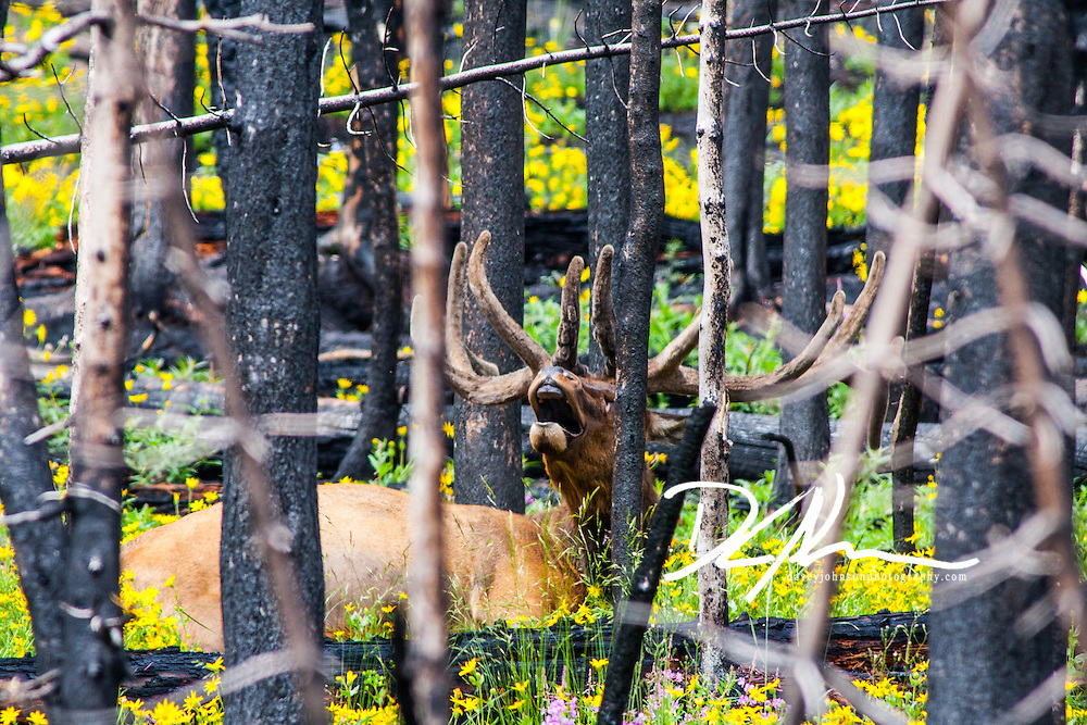 Laying among the trees, a bull elk yawns as time drags on