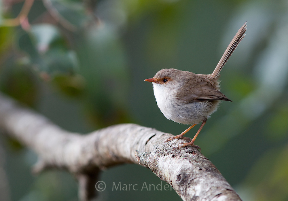 Adult femal Superb Fairy Wren (Malurus cyaneus), NSW, Australia