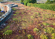 Flowers and plants growing on a sedum roof of the White Horse pub at Brancaster Staithe, north Norfolk, England