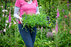 Carrying trays of summer bedding plants ready to plant out