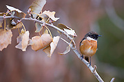 common stonechat, or European Stonechat (Saxicola rubicola). This small songbird gets its name from its call, which sounds like two stones being knocked together. It lives in open heathland, swooping down from a vantage point to take insects on the ground or sometimes in the air. It nests on or near to the ground. This bird is found throughout Europe, in the Middle East and in southern and eastern Africa. Photographed in Israel in November