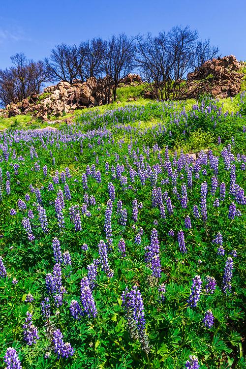 Wildflowers at Charmlee Wilderness Park in the Santa Monica Mountains, Malibu, California USA