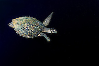 Hawksbill Turtle cruises the inky depths<br /> <br /> Shot in Indonesia