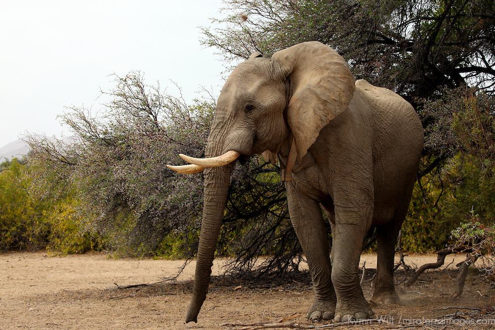 Africa, Namibia, Kaokoland. Desert adapted Elephant.
