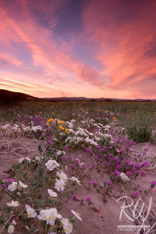 Henderson Canyon Spring Wildflowers, Anza Borrego Desert State Park, California