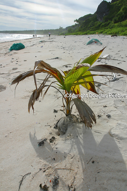 Young Coconut tree, Henderson island (World Heritage site), Pitcairn Group<br />