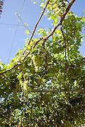 Grape vines against blue sky, Rhodes, Greece