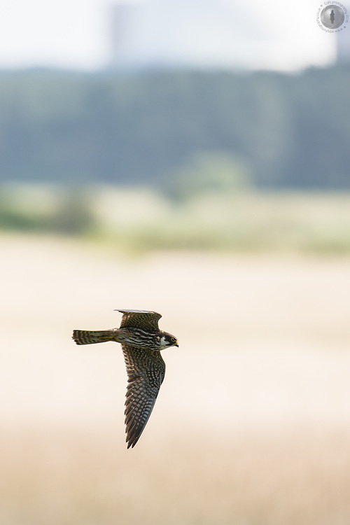 A hobby in flight passing by the Sizewell nuclear power station at Minsmere RPSB reserve in Suffolk, UK.