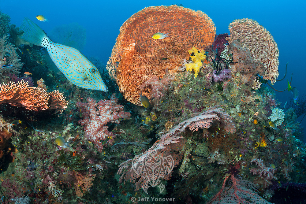 Scrawled Filefish and Gorgonian Sea Fans<br /> <br /> Shot in Indonesia