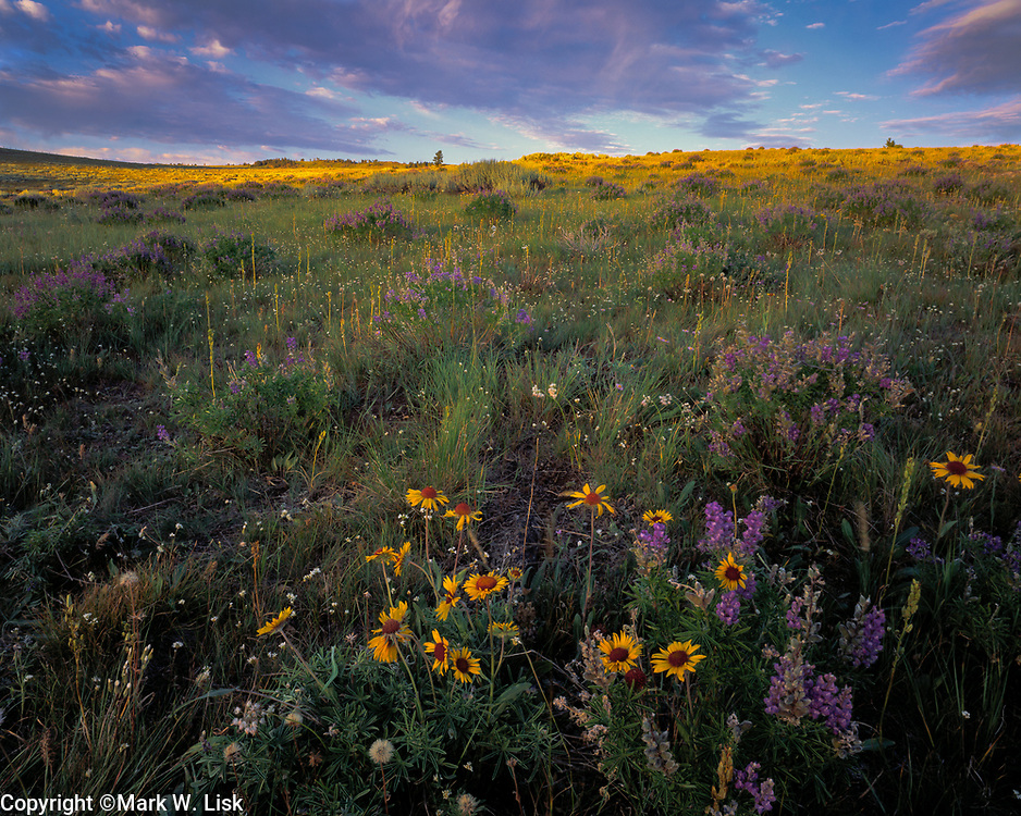 Lupine and Daisy's spring up along the continental divide on the Idaho/Montana boarder.