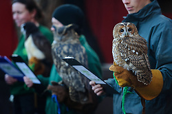 © Licensed to London News Pictures. 02/01/2014 London, UK. Alberta the Tawny Owl waits to be counted during the annual stocktake at London Zoo, Regents Park. <br /> Home to more than 800 unique species, zookeepers take stock of every invertebrate, bird, fish, mammal, reptile, and amphibian counting every animal in the annual stocktake.<br /> The compulsory count is required as part of London Zoo's license, the results are logged and the data is shared with zoos around the world to manage international breeding programmes. Photo credit : Simon Jacobs/LNP