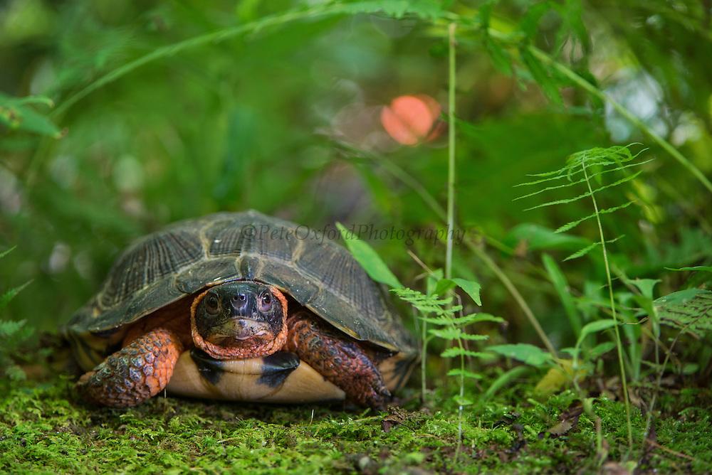 Wood Turtle (Glyptemys insculpta)<br /> CAPTIVE<br /> USA<br /> HABITAT & RANGE: Near streams and rivers form Nova Scotia to Minnesota and Virginia.<br /> ENDANGERED SPECIES