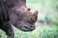 Horn regrowth on a white rhino following dehorning, Thanda Private Game Reserve, KwaZulu Natal, South Africa
