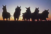 Amish boy tills soil with five mules at sunset, Lancaster, PA