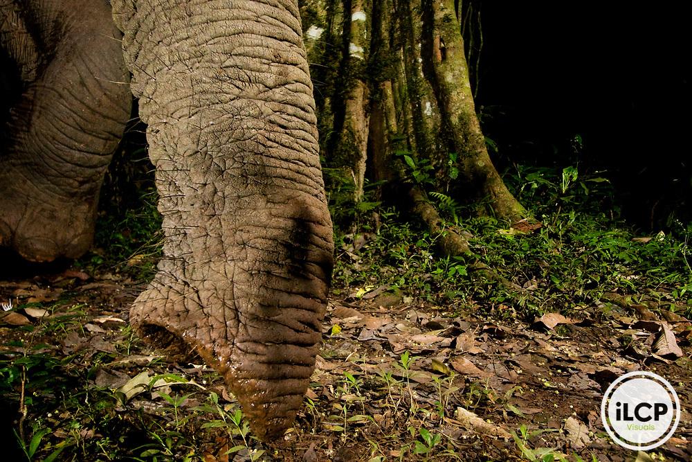African Elephant (Loxodonta africana) smelling rainforest floor, Kibale National Park, western Uganda