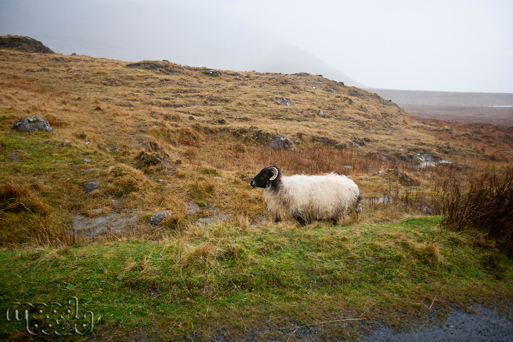 Sheep walking by the road