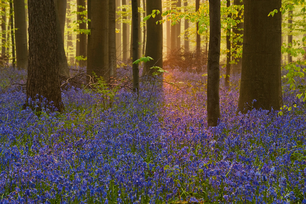 Hallerbos forest at dawn, Bluebells carpet Hyacinthoides non scripta, Belgium