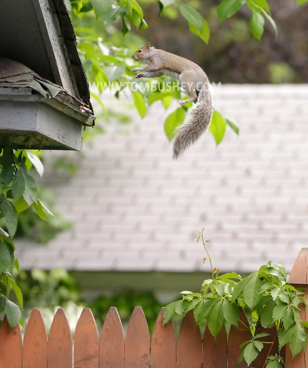 Middletown, N.Y. - A squirrel jumps from a fence to the roof of a garage on May 23, 2006.