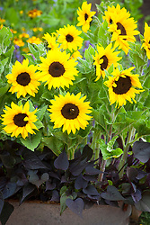 Helianthus annuus 'Micro-Sun' (Dwarf sunflower) with Ipomoea 'Sweetheart Purple' in metal container